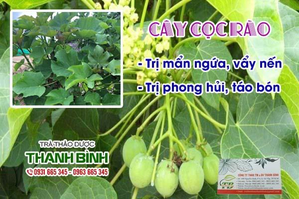 cây cọc rào Thảo dược Thanh Bình