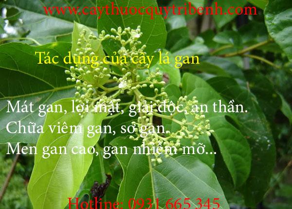 cây lá gan