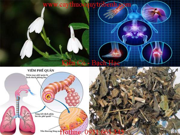kiến cò bạch hạt