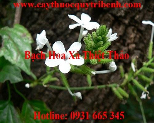 Mua bán bạch hoa xà thiệt thảo ở huyện Hóc Môn trị ho viêm phổi tốt nhất
