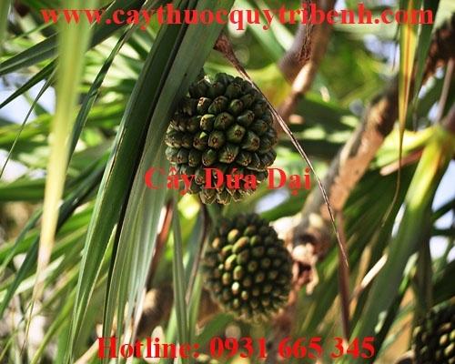 Mua bán cây dứa dại ở quận Thủ Đức trị xơ gan cổ trướng hiệu quả nhất