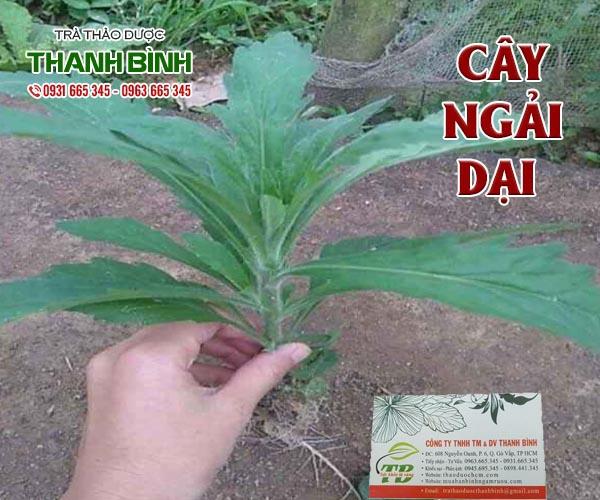 Mua bán cây ngải dại ở huyện Cần Giờ chữa trị bệnh viêm da cơ địa an toàn