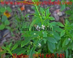 Cách sử dụng cam thảo đất (cam thảo nam) giúp điều trị ho hiệu quả nhất