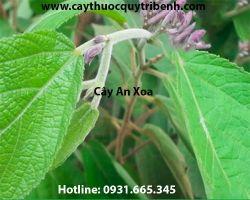 Công dụng của cây an xoa giúp làm mát gan giải độc gan hiệu quả nhất