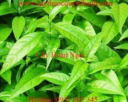 Công dụng của cây hoàn ngọc trong trị các bệnh về đường ruột tốt nhất