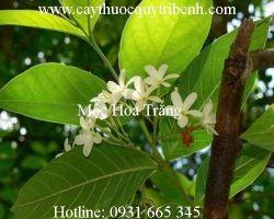 Công dụng của mộc hoa trắng điều trị viêm đại tràng hiệu quả nhất
