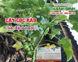 Địa điểm bán cây cọc rào chữa bệnh eczema uy tín chất lượng nhất