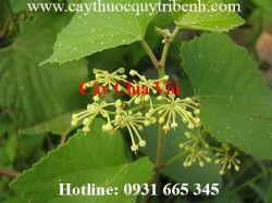 Mua bán cây chìa vôi chất lượng tại Thừa Thiên Huế chữa trị bong gân