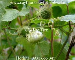 Mua bán cây lạc tiên tại quận Gò Vấp có tác dụng điều trị ho hiệu quả