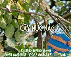 Mua bán cây núc nác tại Đà Nẵng có công dụng chữa hen phế quản