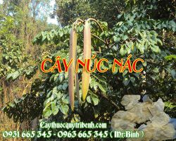 Mua bán cây núc nác tại huyện Ứng Hòa giúp điều trị hen phế quản