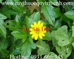 Mua bán cây sài đất tại Dak Lak giúp trị viêm tuyến vú hiệu quả nhất