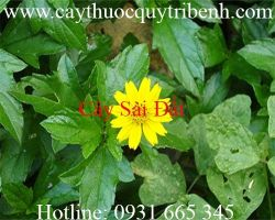 Mua bán cây sài đất tại Lâm Đồng giúp trị ung thư môn vị tốt nhất