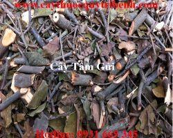Mua bán cây tầm gửi ở quận Tân Bình điều trị ho khan hiệu quả nhất