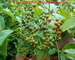 Mua bán cây xạ đen tại Lâm Đồng có công dụng trị nhọt mụn hiệu quả nhất