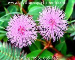 Mua bán cây xấu hổ chất lượng tại Quảng Trị có tác dụng chữa đầy bụng