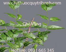 Mua bán chè vằng uy tín tại Quảng Ninh có tác dụng kháng viêm rất tốt
