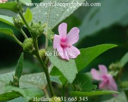 Mua bán ké hoa đào tại Trà Vinh giúp chữa trị kiết lỵ hiệu quả nhất