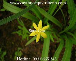 Mua bán sâm cau (tiên mao) tại Thừa Thiên Huế giúp kháng viêm rất tốt