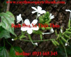 Mua bán sỉ lẻ bạch hoa xà thiệt thảo tại Ninh Thuận trị ung thư phổi