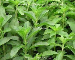 Tác dụng của cây cỏ ngọt trong điều trị bệnh tiểu đường hiệu quả nhất